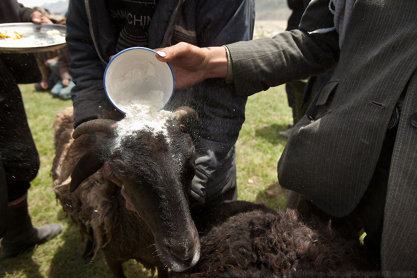 A sheep is covered in flour, a sign of purification,  before slaughtering it. Wedding celebration at Kitshiq Aq Jyrga...Trekking through the high altitude plateau of the Little Pamir mountains (average 4200 meters) , where the Afghan Kyrgyz community live all year, on the borders of China, Tajikistan and Pakistan.