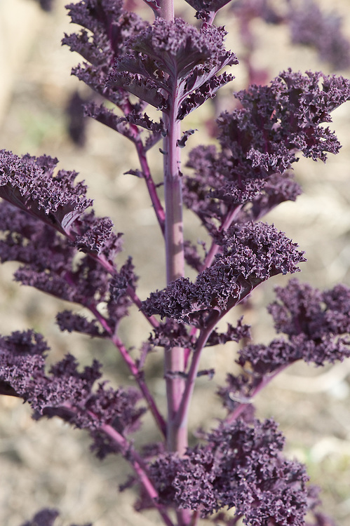 Kale 'Redbor' going into flower, allotment, end April.