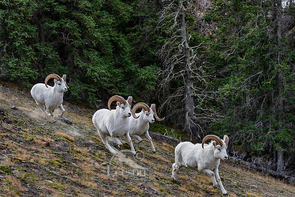 Dall sheep or Thinhorn sheep rams (Ovis dalli) running, Kluane National Park and Reserve, Yukon Territory. Sept.
