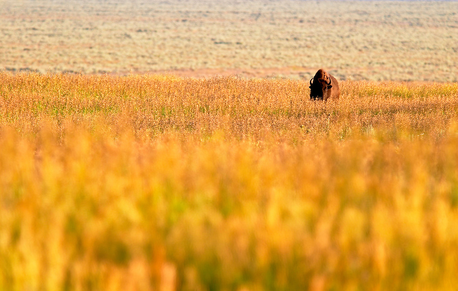Bison in prairie landscape, Grand Teton National Park, Teton County, Wyoming, USA