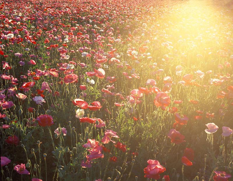 V00144M.tiff   Poppies with sunburst. Poppy farm near Junction City, Oregon