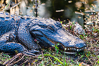 US, Florida, Everglades, Shark Valley. Close-up of an American alligator.