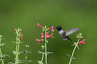 Black-chinned Hummingbird (Archilochus alexandri), adult male feeding on blooming Scarlet betony (Stachys coccinea), Hill Country, Texas, USA