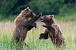 Two bears play fight with each other as one slaps its sibling in the face.  The friendly tussle between the two young grizzlies is preparation for when they will have to fight other larger adult bears in the future.<br /> <br /> They were on their way to a nearby lake when they began wrestling around in the grassland of Lake Clark National Park, Alaska.  The photos, taken by 54-year-old property manager, Hao Jiang, show the two bears only a few days after they have left their family behind.  SEE OUR COPY FOR DETAILS.<br /> <br /> Please byline: Hao Jiang/Solent News<br /> <br /> © Hao Jiang/Solent News & Photo Agency<br /> UK +44 (0) 2380 458800