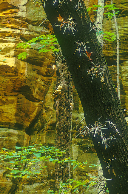 A Honey Locust tree shows it's thorny trunk in Kaskaskia Canyon in Starved Rock State Park, LaSalle County, Illinois