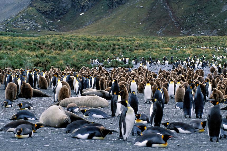 King Penguins.Aptenodytes patagonicus.South Georgia Island.Antarctica.
