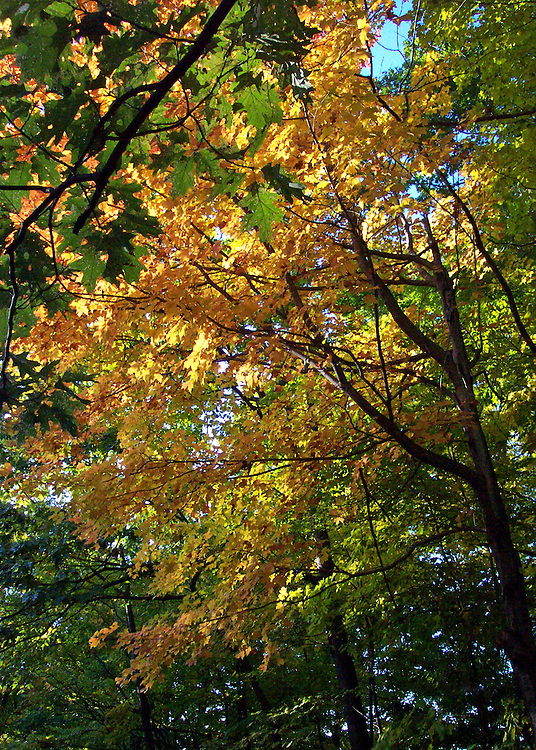 The coming of fall in New York State is seen in this sun-touched, golden-leafed maple surrounded by the green of trees yet to turn.
