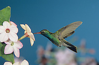 Broad-billed Hummingbird, Cynanthus latirostris, male in flight feeding on Nicotiana(Nicotiana ssp.), Madera Canyon, Arizona, USA