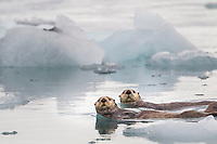 Sea otters swim in the icy waters of Harriman Fjord, Prince William Sound, southcentral, Alaska.
