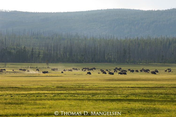 A herd of bison graze in Yellowstone National Park, Wyoming.