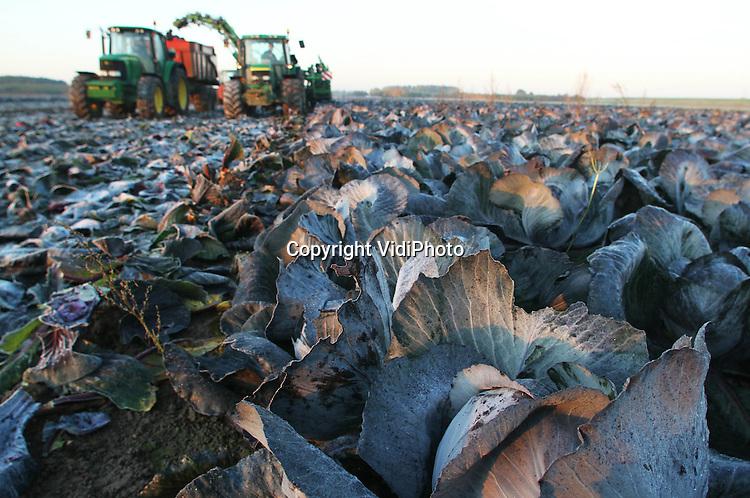 Foto: VidiPhoto..HEMMEN - De oogst van de Nederlandse rode kool is begonnen. Biologisch akkerbouwer André Jurrius uit het Gelderse Hemmen oogst vrijdagochtend zijn bevroren akkers, biologische rode kool voor de rode-kool-met-appeltjes uit glas die komend jaar in de schappen van de supermarkten staat. Steeds meer conservenfabrieken kiezen voor biologisch geteelde groenten, aldus Jurrius, onder druk van de consument. De kolen van Jurrius worden vrijdag machinaal geoogst omdat ze direct verwerkt worden. Machinaal oogsten tast de kwaliteit van het product aan; lichte nachtvorst niet.