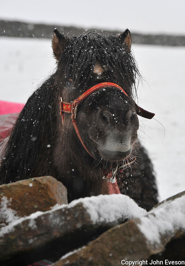 Shetland pony in the snow near High Bentham, North Yorkshire.