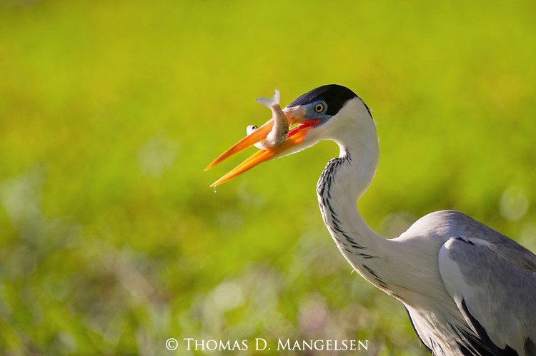 A great blue heron with a fish in its beak in the Pantanal, Mato Grosso, Brazil.