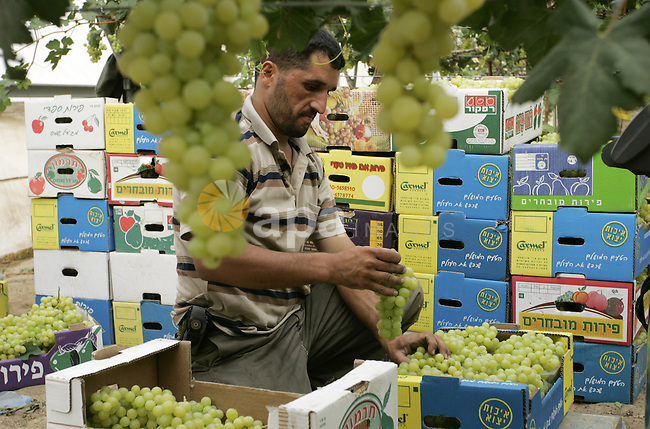 Palestinian farmers harvest grapes from a field cultivated in a former Israeli settlement Neve Dekalim which was dismantled in 2005, close to Khan Yunis in  the southern Gaza Strip on May 24, 2011. Photo by Abed Rahim Khatib