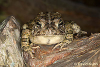 0602-0909  Fowler's Toad, Anaxyrus fowleri [syn: Bufo fowleri (Bufo woodhousii fowleri)]  © David Kuhn/Dwight Kuhn Photography