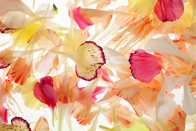 A composition of carnation petals