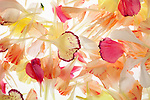 A composition of carnation petals