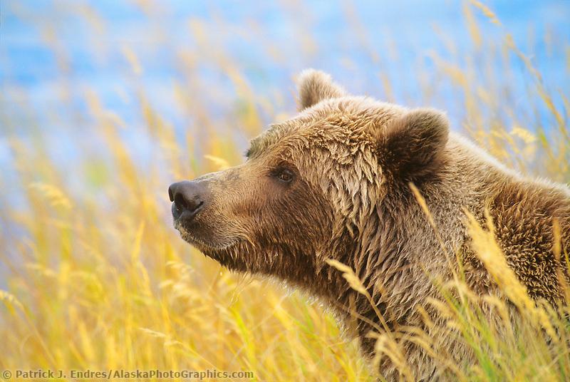 Coastal bear in Katmai National Park, Alaska