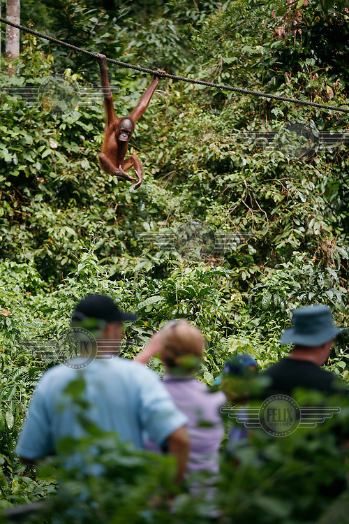 Tourists watch an orangutang in Sepilok Orangutan Rehabilitation Centre. One can witness orang-utans recently released back into the wild but still being fed regularly as they progress from captive patients to healthy animals living in the wild.