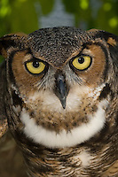 Great Horned Owl, Bubo virginianus, Florida