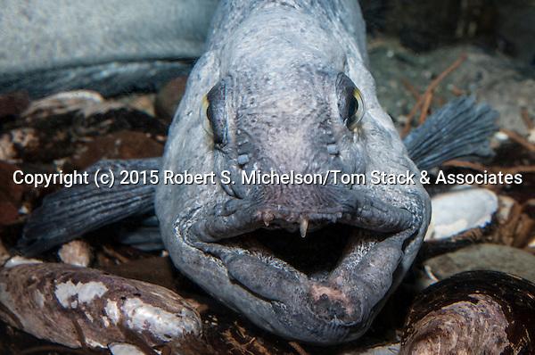 Atlantic wolffish facing camera mouth open