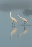 Pair of adult Whooping Cranes, foraging for crabs in the fog at Aransas NWR (south TX)