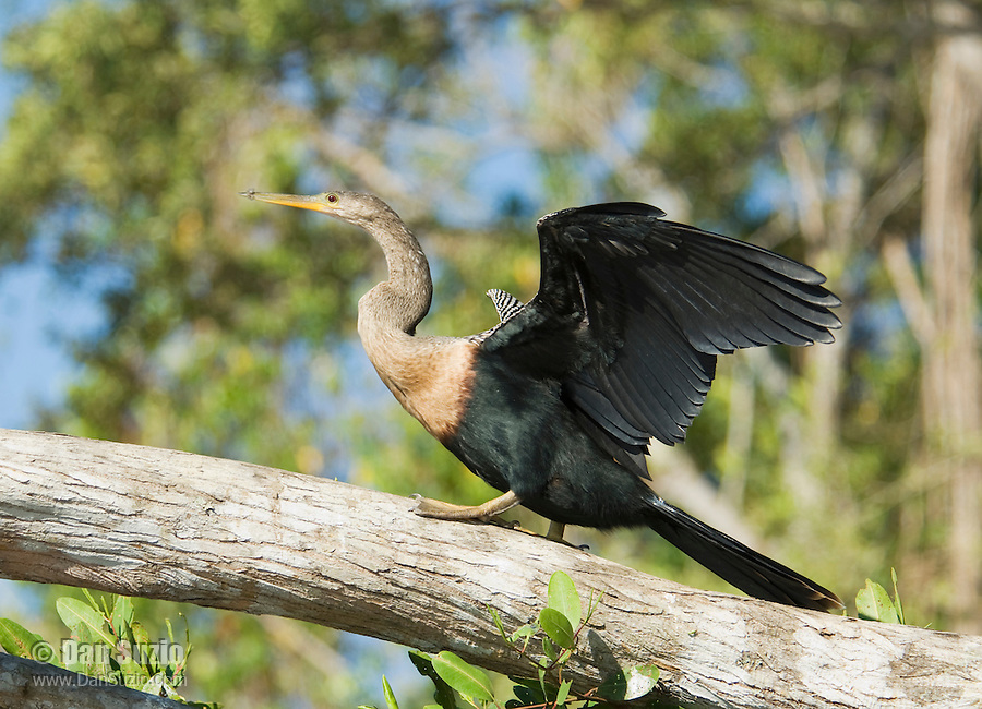 Anhinga, Anhinga anhinga. Tarcoles River, Costa Rica