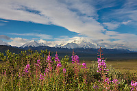 Pink blooming wildflowers and Mt Denali, Denali National Park, interior, Alaska.