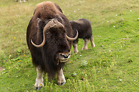 A Muskox (also spelled musk ox and musk-ox) is seen at the Zoo Sauvage in St. Felicien, Quebec Friday August 25, 2017.