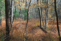 Barberry colonizing Pennsylvania woods, in autumn (Berberis)
