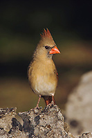 Northern Cardinal, Cardinalis cardinalis, female, Uvalde County, Hill Country, Texas, USA, April 2006