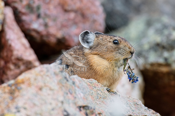 American pika (Ochotona princeps) eating chiming bell wildflower.  Beartooth Mountains, Wyoming/Montana border.  Summer.  This photo was taken in alpine setting at around 11,000 feet (3350 meters) elevation.