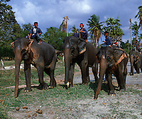 Indian Elephants posing for the camera. Bali Indonesia.
