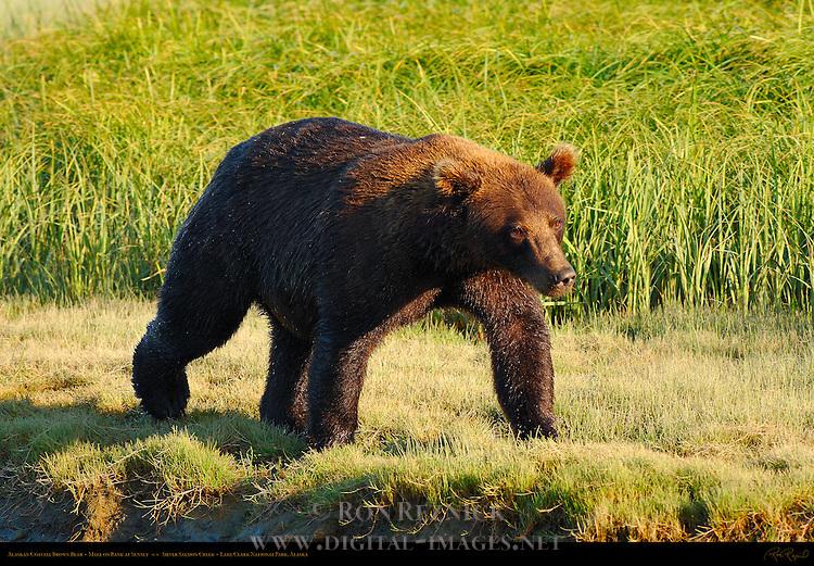 Alaskan Coastal Brown Bear, Male on Bank at Sunset, Silver Salmon Creek, Lake Clark National Park, Alaska