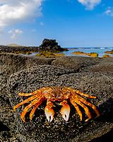 crab, Kukio resort, Kona coast, Big Island of Hawaii