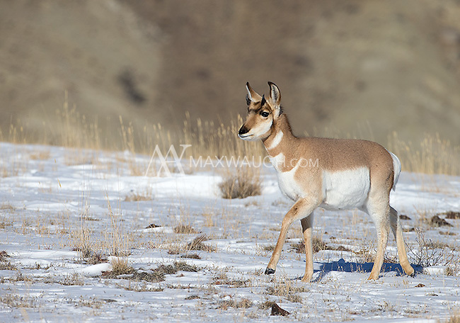 Though most pronghorns migrate away from the park in winter, some stick around and graze along the northern border, where snow is not as deep.