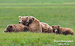 A photo of a Alaska coastal brown bear sow with her three cubs.