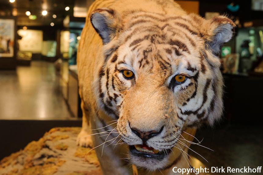 Tiger imZoologische Museum, Martin-Luther-King-Platz 3, Hamburg, Deutschland