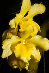 Yellow orchid, Marie Selby Botanical Gardens, Florida
