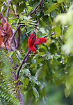 Moluccan red lories come people-watching at the Morite canopy platform.