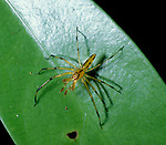 Spider, Family: Dysderidae, has large chelicerae and long fangs, Belize