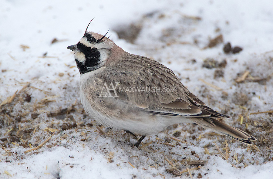 I have seen Horned larks in Yellowstone... and now I've seen them in northern India.