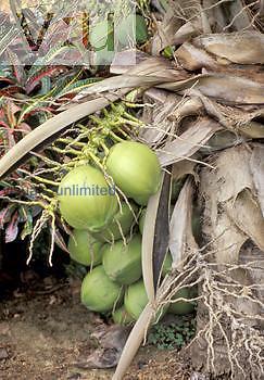 Samoan Coconuts ,Cocos nucifera,