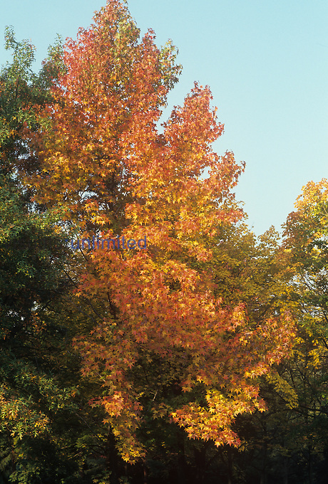 Sweetgum Tree in the fall ,Liquidamber styraciflua,.