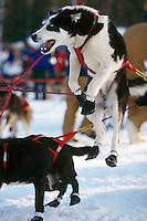 Zack Steer's Dog Jumps to go @ Wasilla Restart 2000 Iditarod AK