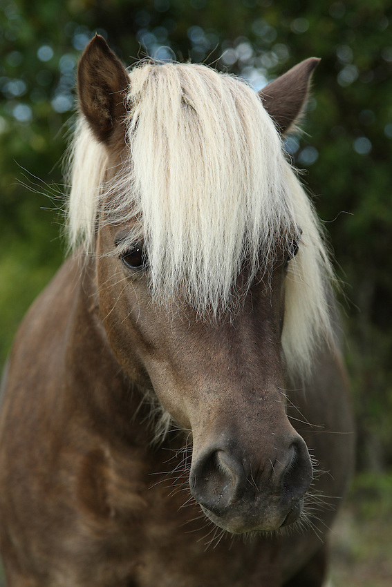 The Shetland Pony is recognized as the strongest Equid relative to size in existence.