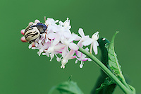 Disrupted Ragweed Leaf Beetle (Zygogramma disrupta), adult on flower, Dinero, Lake Corpus Christi, South Texas, USA