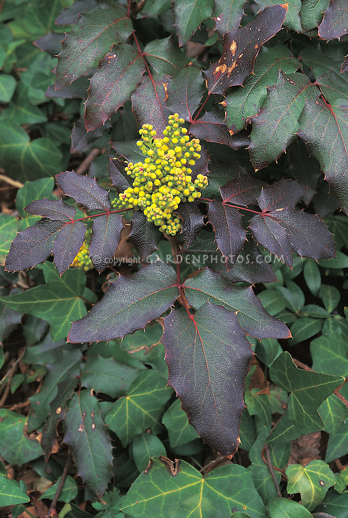 Mahonia aquifolium Atropurpurea in yellow bloom