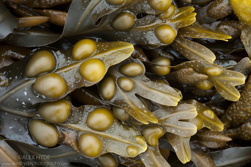 Bladder Wrack seaweed {Fucus vesiculosus} exposed at low tide in middle-shore zone. Isle of Mull, Scotland, UK. June.