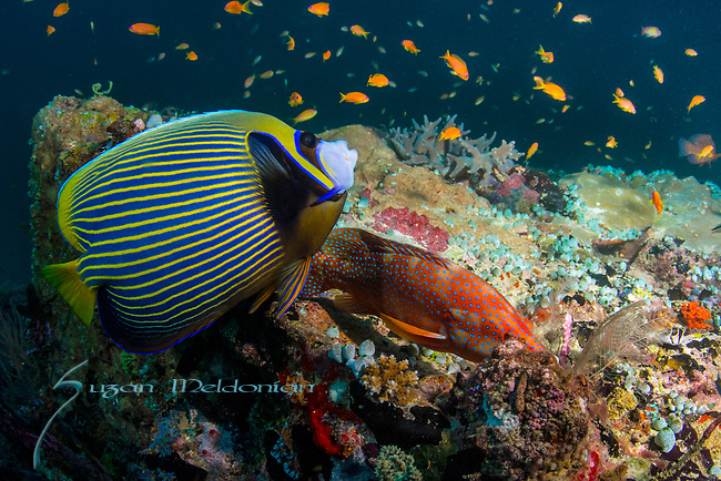 Emperor Angelfish, Pomacanthus imperator and coral grouper